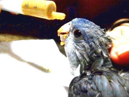 サザナミインコ・ブルーのヒナの挿餌の様子