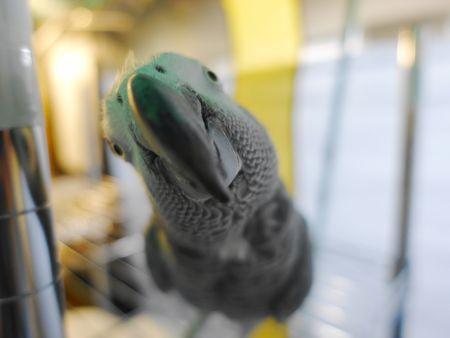 ふれあい愛鳥塾にいたヨウムのドアップの正面顔