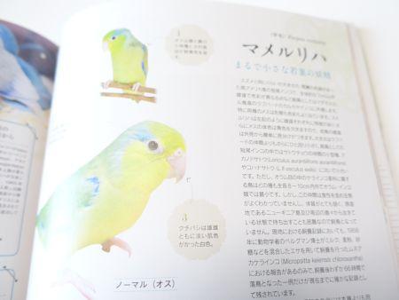 コンパニオンバードNo29の特集鳥1羽目はマメルリハ