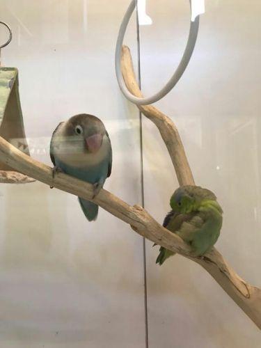 Cafeいんこぐらしの鳥、ボタンインコとマメルリハ