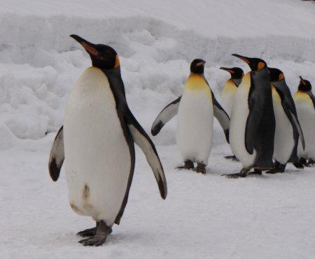 ペンギンの体温は、他の鳥類に比べ低い