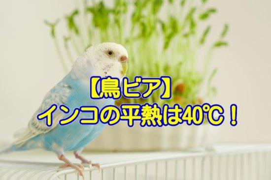 鳥ビア「インコの平熱は40℃」