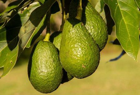 アボカドは実は果物で「森のバター」と呼ばれている
