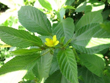 モロヘイヤの実や茎にはストロファンチジンと呼ばれる有毒な成分が含まれている