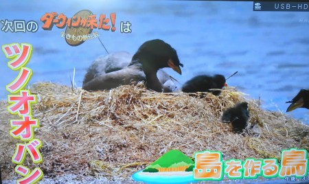 2018年10月21日のダーウィンが来た!は南米チリの鳥「ツノオオバン」特集