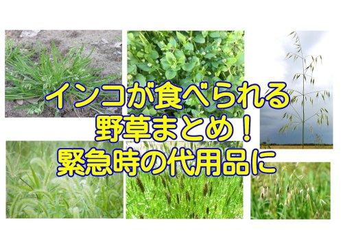 インコが食べられる野草まとめ!緊急時の愛鳥の食事の代用品に