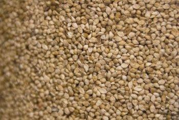 ヒエ(稗)ーインコが主食で食べるシードで脂肪分が少なめ