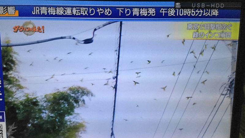 ワカケホンセイインコの群れが空を飛んでいる様子(ダーウィンが来た)