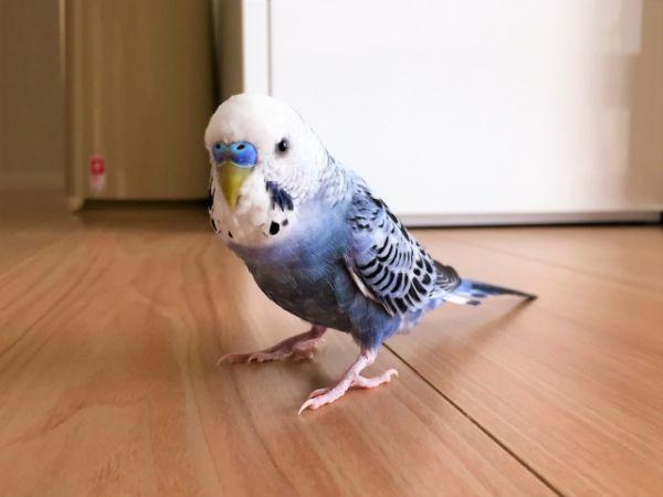放鳥中、床を歩いているセキセイインコを踏みつける事故も多い