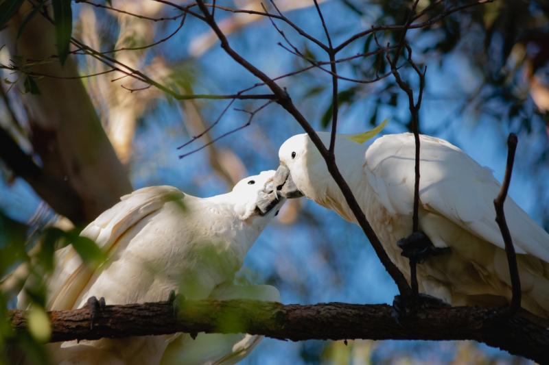 野生のキバタンはすべて左利きという研究結果がオーストラリアのマッコーリー大学が発表