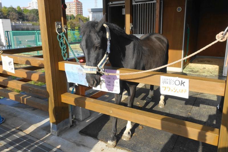 ヤマザキ動物看護大学の学園祭「絆祭」で行われたポニーの牛若丸