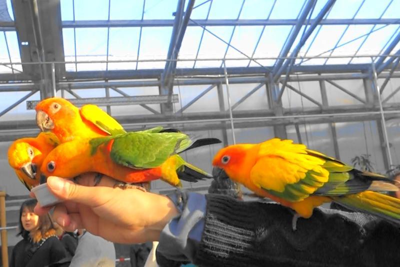 ひまわりの種に夢中な掛川花鳥園のコガネメキシコインコ