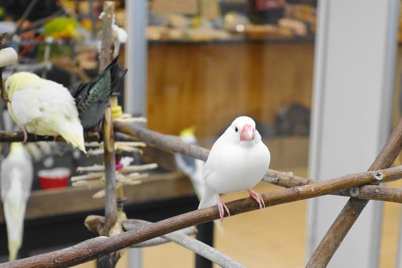白文鳥のちょこんと止まり木に止まる様子(Bird Cafe Oasisバードカフェオアシス)