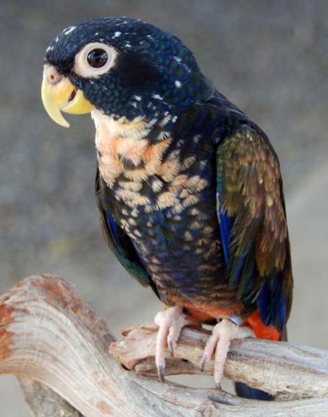 ドウバネインコの特徴的な胸部の薄紅色の羽。他の部位の羽とのコントラストが美しい