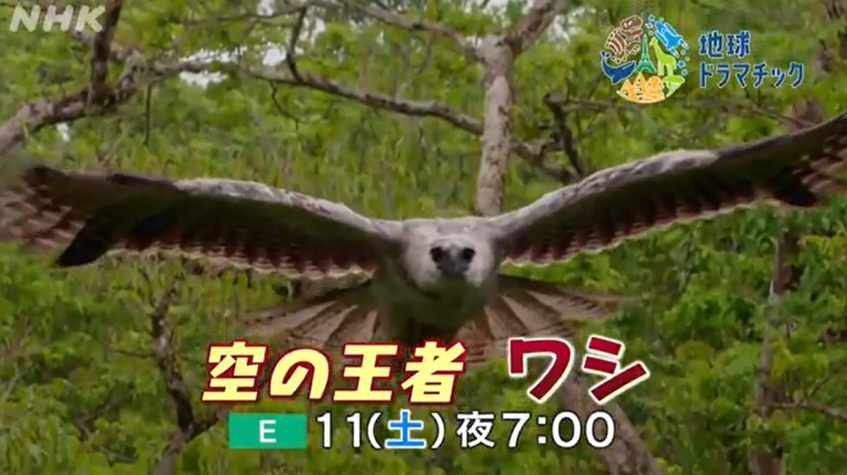 NHK教育テレビ(Eテレ)の地球ドラマチック7月11日の放送は「空の王者 ワシ」で猛禽類が特集