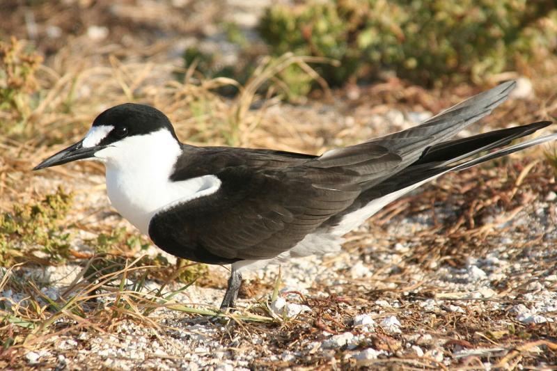海鳥のカモメの仲間であるセグロアジサシの写真。顔や首は白い羽だが、背中は黒い羽で覆われているのが名前の由来