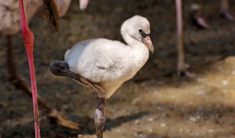 フラミンゴのヒナの羽の色は元々白い色。赤い藻類などの餌を摂取することで赤色の羽になります。