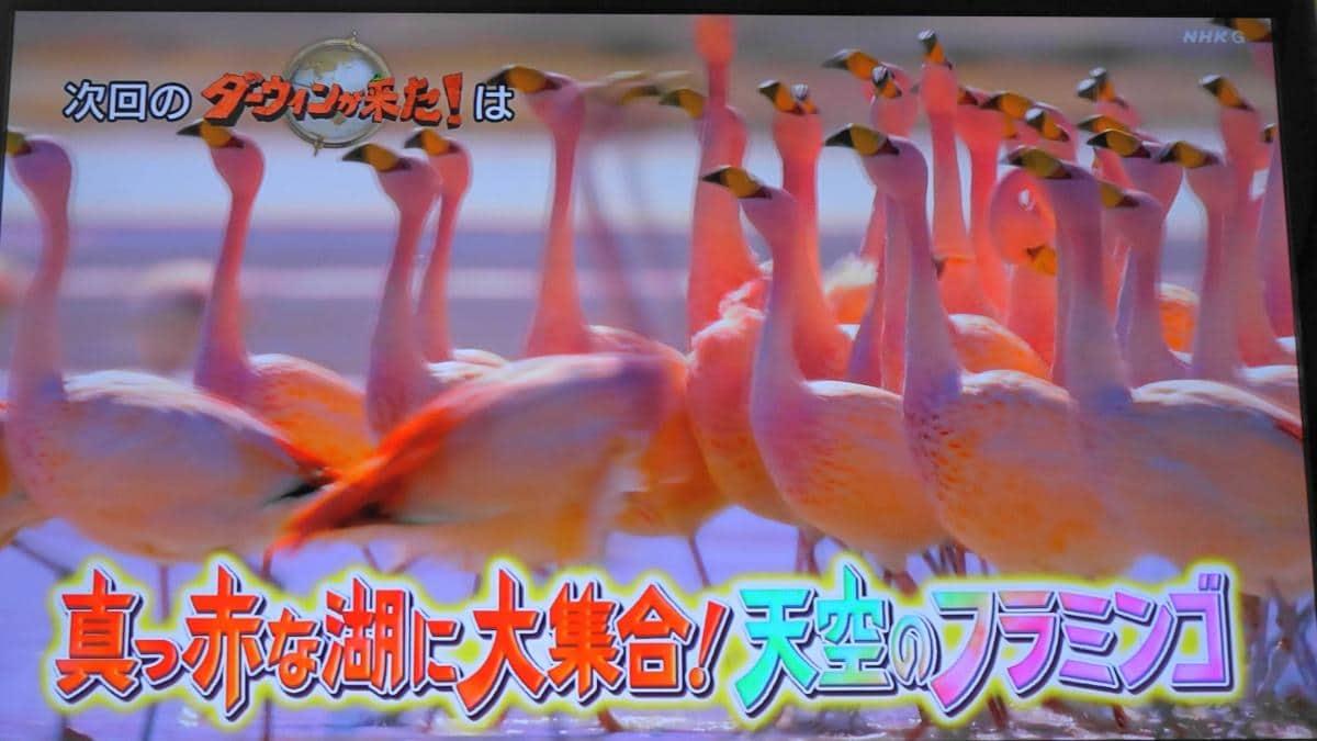 2020年9月20日のダーウィンが来たはフラミンゴ特集!南米の赤い湖に何万羽が集結?なんのために?