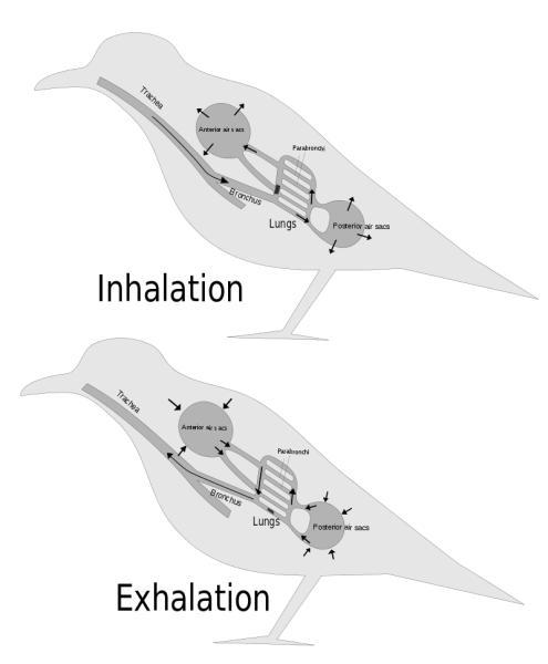 鳥類が持つ呼吸器官である気嚢の仕組み