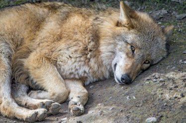 wolf cute pet things hate peeves finns sleeping credits inktank fi
