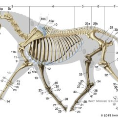 Mouse Skeletal Diagram 3 Phase 6 Lead Motor Wiring Equine Anatomy Chart