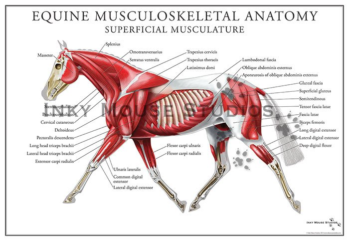 horse muscle and bone diagram audio jack equine superficial muscular system poster