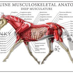 Horse Skeleton Diagram Labeled 1999 Gmc Sierra Radio Wiring Equine Deep Muscular System Poster