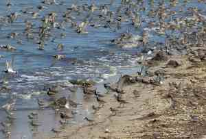 Birds of the Inland Bays