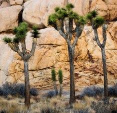 Joshua Trees by Lynn Thomas