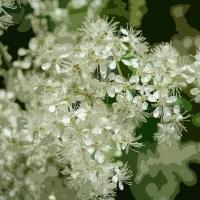 Canal Flora: Meadowsweet