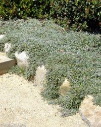 1 Silver Carpet Dymondia Margaretae - Carpet Vidalondon