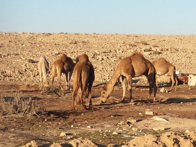 You might have heard that Israel is a dangerous place. Well, in the desert, the main danger is camels, I'll let you figure out why.
