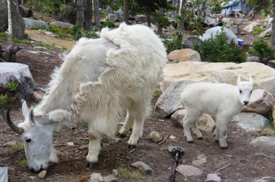 It's very easy to see mountain goats in Cathedral