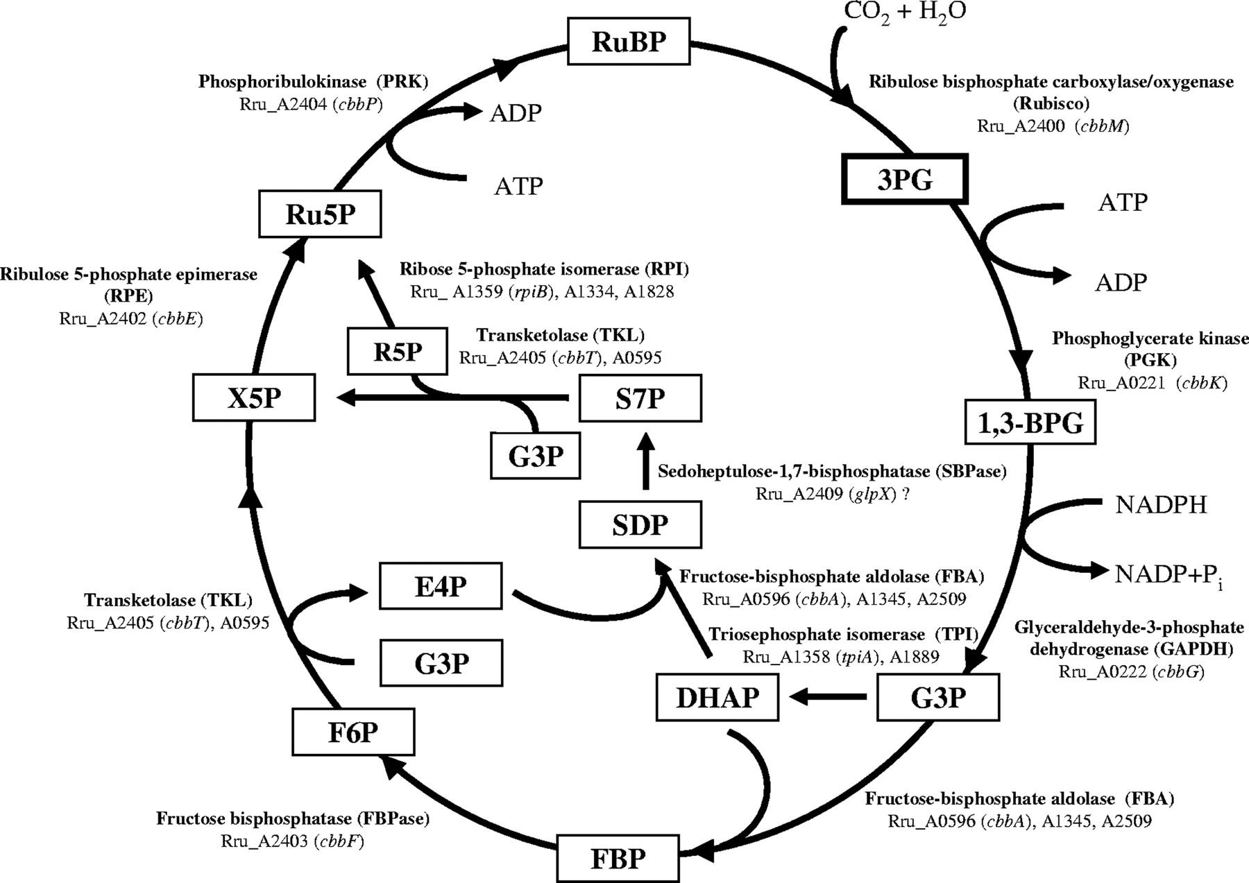 Ib Unit1 Photosynthesis