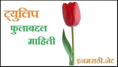 tulip-flower-information-in-marathi