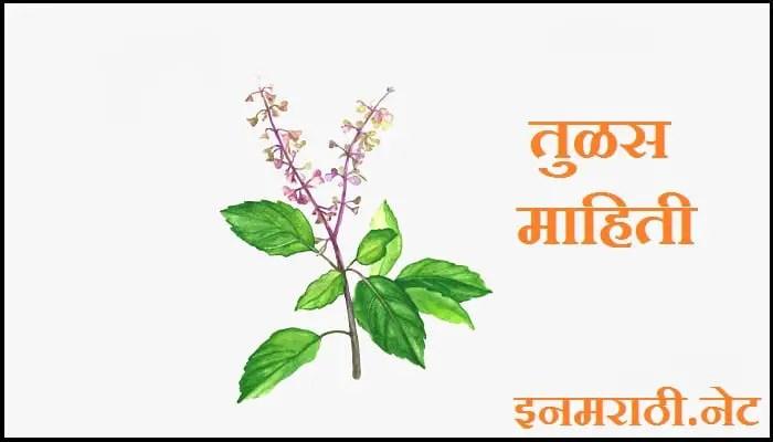 tulsi-information-in-marathi