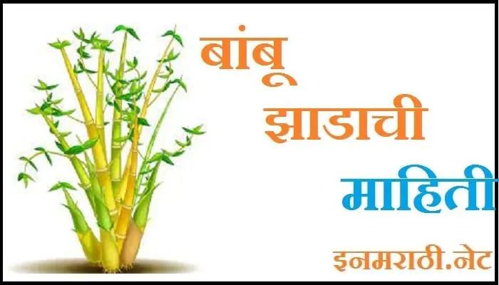 bamboo tree information in marathi
