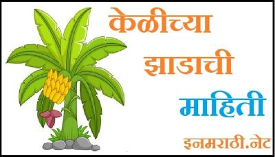 banana tree information in marathi