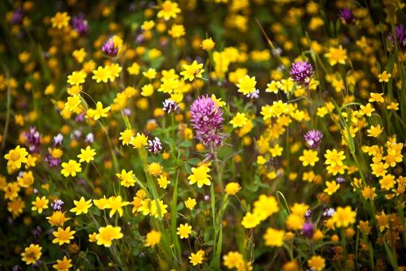 Wildflowers at Jasper Ridge Biological Preserve