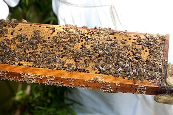 Bees held by beekeeper Dirk Kiehne