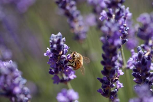 lavender at Cache Creek Lavender Farm