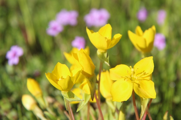 Arastradero yellow wildflowers
