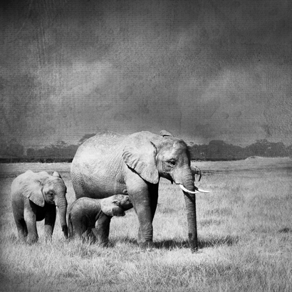 merrie-asimow_elephants_bw_vert