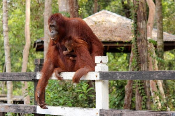 orangutan antics