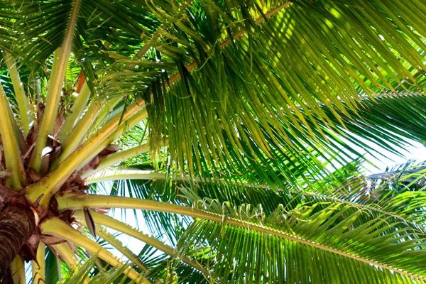 phu quoc intro palm tree