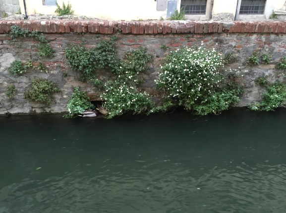Ducks hiding in Lucca