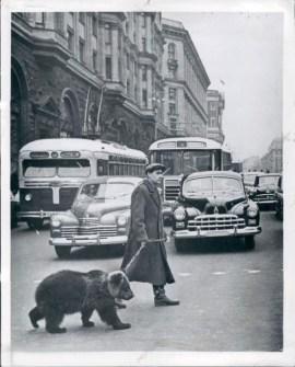 Moscow bear walks