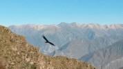 Kondor - największy ptak świata