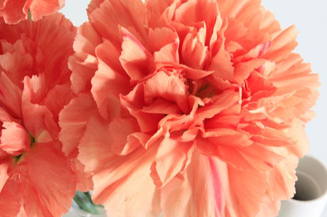 tulip nearest closeup pink
