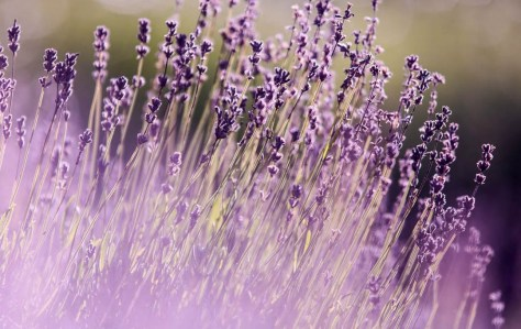 lavender field, to symbolize the use of essential oils with family constellations to fully clear transgenerational emotional patterns